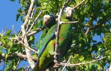 Hispaniolian Amazon parrot