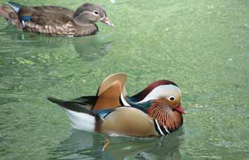 Mandarin Duck