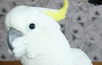 Medium sulphur crested cockatoo