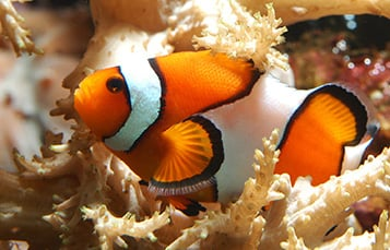 False Black Clownfish
