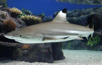 Pacific Blacktip Reef Shark