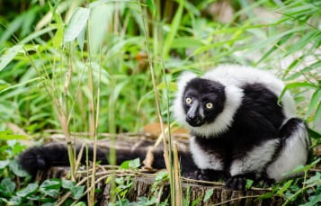 Black and White Ruffled Lemur