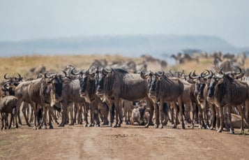 Eastern White Bearded Wildebeest