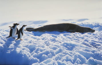 leopard seal with penguins