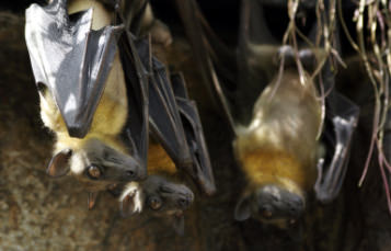 Short Tailed Fruit Bat