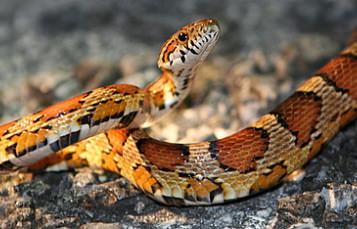 Eastern Corn Snake