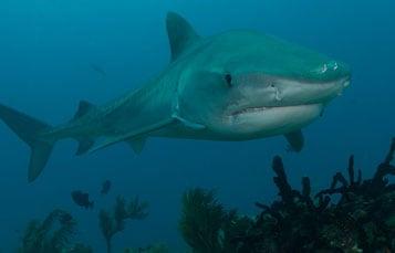 Wild Tiger Shark