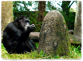 A chimpanzee inserting a stick into an anthill