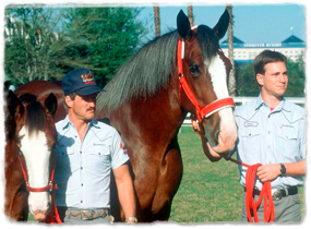 Two trainers pose with two clydesdale horses.
