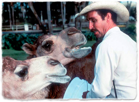 A Busch Gardens keeper with two camels.