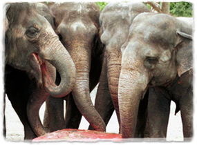 Four elephants gather around a large popsicle on the ground, using their trunks to eat from it.