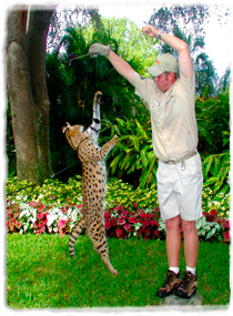 An African serval jumps vertically toward a target held above it by a trainer.