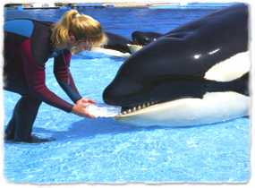 A trainer places a block of ice in a killer whale's mouth at the side of a pool.