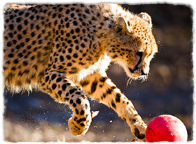 A leopard plays with a ball.
