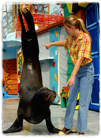 A sea lion holds itself upright on its pectoral flippers, following a trainer's hand signals.