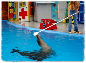A sea lion in a pool follows a target pole held over the water by a trainer.