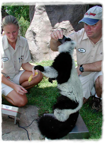 One trainer interacts with a lemur sitting on a scale while another trainer views the scale's display.