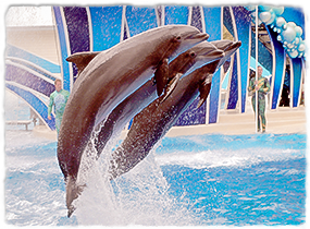 Three dolphins jumping out of the water side-by-side during a marine park performance.