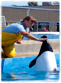 A Commerson's dolphin raises its head out of the water to touch a trainer's outstretched hand.
