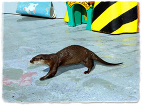 An otter walks across a stage.