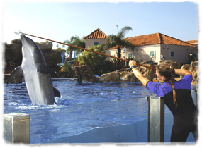 A trainer holds a target pole over the water and a dolphin breaches to touch it.