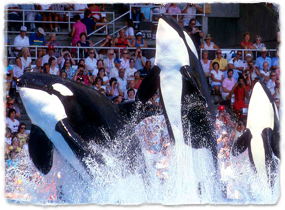 Three orcas jump from the water during a show.