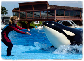 A trainer on the side of a pool gives hand signals to a killer whale that is approaching at the surface.