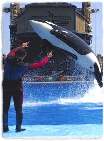 A trainer gives hand signals while an orca is in midair during a jump.