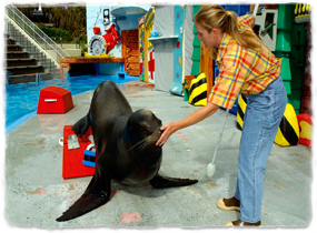 A California sea lion on a stage holding its nose on a trainer's hand.