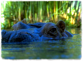 The top of a hippo's head is visible just above the surface of water.