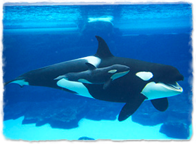 A killer whale calf swims next to an adult underwater.