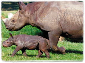 An adult and baby rhino walk together.