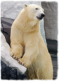 A polar bear stands on hind legs with forelegs resting on a rock.