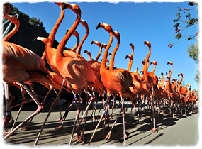 A large group of flamingoes parade in an orderly line.