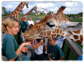 Giraffes bend their necks down to interact with guests at eye level. One giraffe in the foreground approaches a child's outstretched hand.