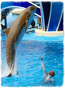 A dolphin jumps out of the water next to a swimming trainer who is giving a hand signal.