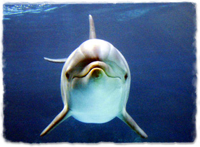 A dolphin underwater, viewed head-on
