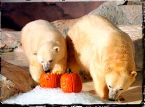 Two polar bears play with pumpkins.