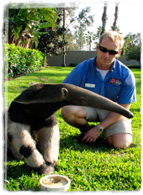 A trainer watches as an anteater eats from a dish.