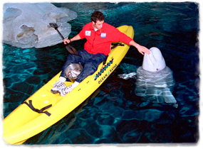 A trainer in a kayak feeds a beluga whale that has surfaced.