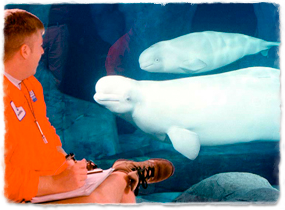 A trainer writes notes while observing two beluga whales through the glass wall of a tank.