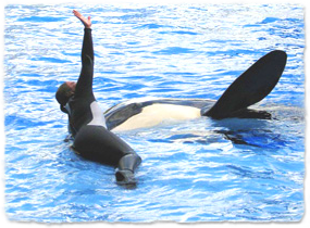 A killer whale and trainer together in a pool. The whale is raising a pectoral flipper out of the water, imitating the trainer raising an arm.