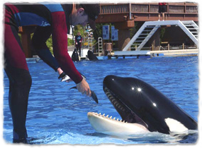 A trainer feeds fish to an orca at the edge of a pool.