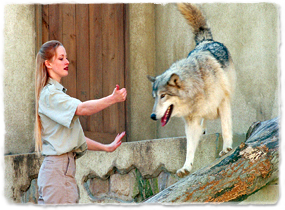 A trainer interacts with a wolf walking around an enclosure.