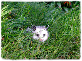 An opossum hiding in grass, partially obscured from view by the grass