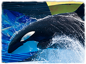 A killer whale breaches during a show practice.