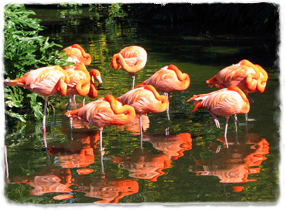 Several flamingoes in water, each standing on one leg with head tucked close to the body