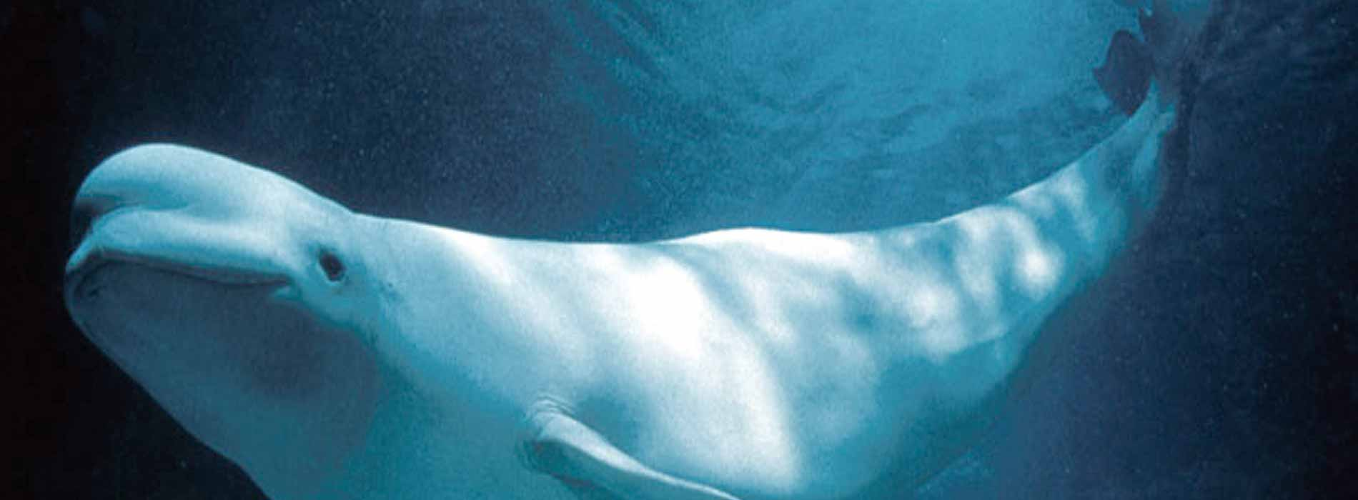 Beluga whale head