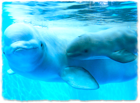 a newborn calf and mother beluga, demonstrating the darker coloration of the calf