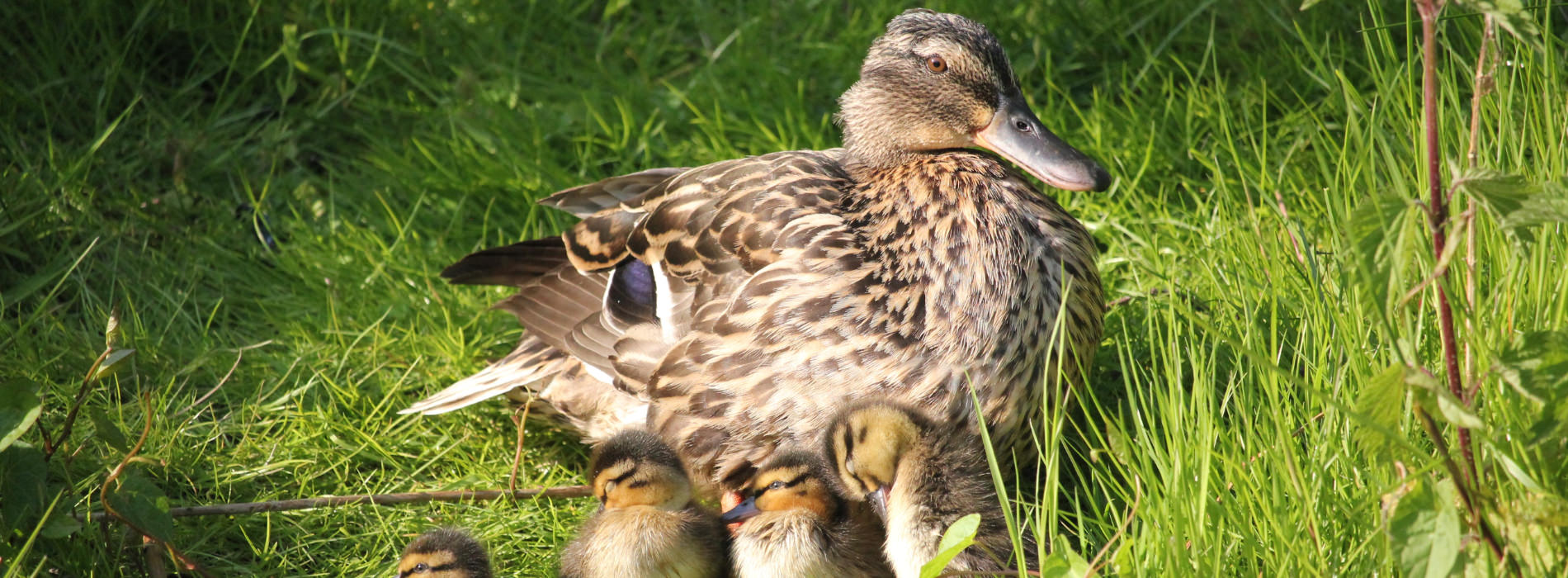 An adult duck with several ducklings